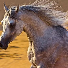 Wild Pride by Wissam Chehade - Animals Horses ( pride, wild, desert, horses, sunset, majesty, arabian horses,  )