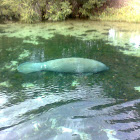 SEA COW,MANATEE