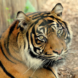 Tiger by Ralph Harvey - Animals Lions, Tigers & Big Cats ( tiger, wildlife, ralph harvey, longleat, animal )