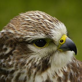 by Glen Unsworth - Animals Birds