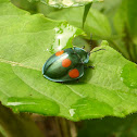 Four spotted Tortoise beetle