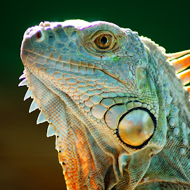 IGUANA by Kim Pot - Animals Reptiles