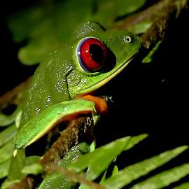 Red eye by Erin  Thomsen - Animals Amphibians ( orange, purple, frog, green, puerto viejo, tropical, tree frog, amphibian, red eye tree frog, caribbean, rica, red, tree, blue, jungle, costa rica, costa, red eye, la ceiba, eye )