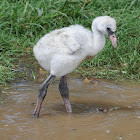 Caribbean flamingo (chick)