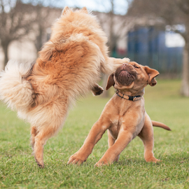 by Michael  M Sweeney - Animals - Dogs Playing