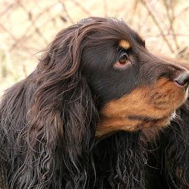 Coco by Chrissie Barrow - Animals - Dogs Portraits ( spaniel, pet, ears, fur, head, dog, nose, portrait, tan, eye )