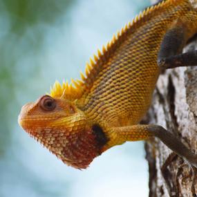 Oriental garden lizard by Yogesh Kumar - Animals Reptiles ( lizard, oriental, garden, up, close )