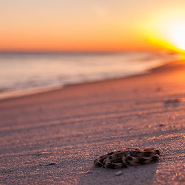 Starfish sunset by Shelley Patterson - Nature Up Close Sand ( sand, florida, sunset, starfish, alabama, beach, golden hour )
