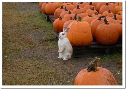pumpkin day 005