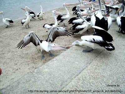 Pelicans08