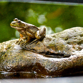 LIL' WALT 2 by Michael Crawley - Animals Amphibians