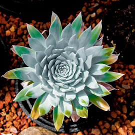 by Pete Lambertz - Novices Only Flowers & Plants ( white flower, desert, colorful, flower, cactus )