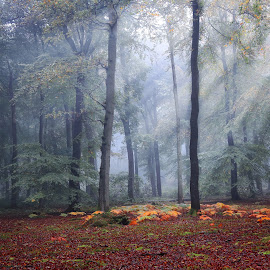 Autumn Forest by Ceri Jones - Landscapes Forests ( season, autumn, trees, woodland, forest, sunlight, morning, woods, rays, mist )