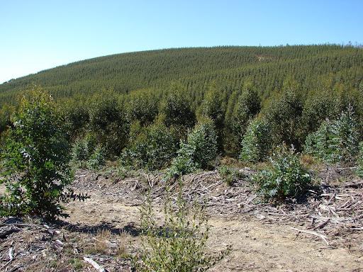 Monocultivo eucaliptos en Campo Lameiro