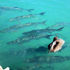 Tarpon by Sean Kushmick - Novices Only Wildlife ( fish, florida, tropical, fishing, key west )