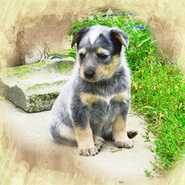 by Cynthia Potter Nichols - Animals - Dogs Puppies ( puppies, pet portraits, acd puppy, blue heeler, australian cattle dog puppies,  )