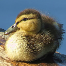 Mallard duckling by Steve Munford - Animals Birds ( mallard, duckling, oregon nature, birds )