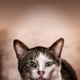 Cats : Bimbi Close up by Govi Murillo - Animals - Cats Portraits ( cats, govimurillo photography, pets, dodge, burn, portraits, photography,  )