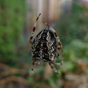 Cross orb weaving spider