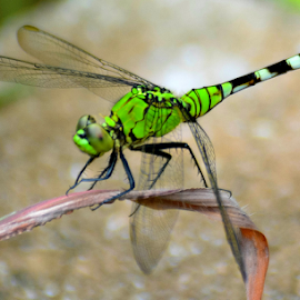 Green Beauty by Janet Lyle - Animals Insects & Spiders ( insects, dragonfly )