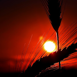 Wheat sunset by Aleš Maučec - Nature Up Close Other Natural Objects ( field, wheat, orange, nature, sunset, summer, sun )