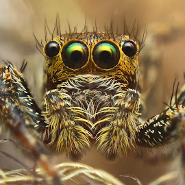 spider head by Weri Suweri - Animals Insects & Spiders ( spider, head, animal, eyes )