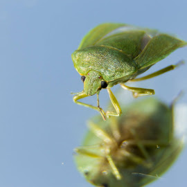 Chinavia hilaris - Green Stink Bug by Colin Toone - Animals Insects & Spiders (  )