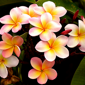 Pink Frangipani 66 by Mark Zouroudis - Flowers Flowers in the Wild