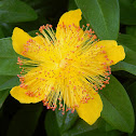 Great St. John's Wort