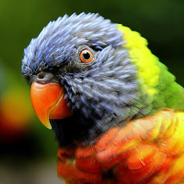 Lorikeet by Ralph Harvey - Animals Birds ( bird, wildlife, ralph harvey, bristol zoo )