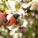 Lycid mimic Jewel beetle