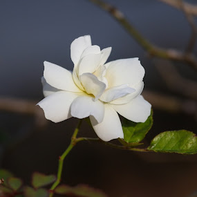 White Floral by Jared Lantzman - Flowers Flowers in the Wild ( wild, single, white, beauty, flower )