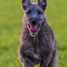by Paul Scullion - Animals - Dogs Running ( field, playing, puppies, yung, puppy, fun, dog, running, lurcher )