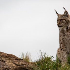Lynx by Marsilio Casale - Animals Lions, Tigers & Big Cats ( big cat, cat, nature, lynx, animal,  )