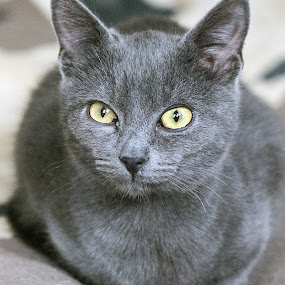 Gray by Gabriel Catalin - Animals - Cats Portraits