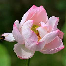 Nelumbo nucifera by Nikola Vlahov - Flowers Single Flower ( nelumbo nucifera, lotus, showy, nature, flower )