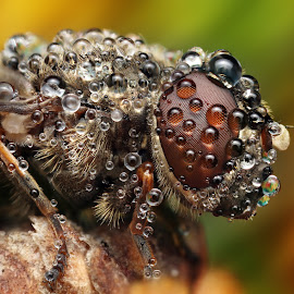 oOoOoOoo by Ondrej Pakan - Animals Insects & Spiders ( macro, fly, dew, dew drops, insect )