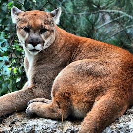 Cougar Rock by Don Mann - Animals - Cats Portraits ( cat, cougar, mountain lion, puma, feline )