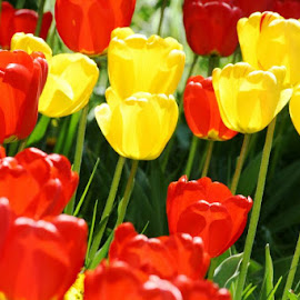 Gorgeous Tulips by Ranjeet Adkar - Novices Only Flowers & Plants ( colors, switzerland, tulips, flowers, colours )
