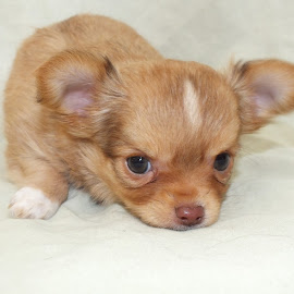 Ariel by Suzzette Drake - Animals - Dogs Puppies ( puppy, chihuahua (long coat) )