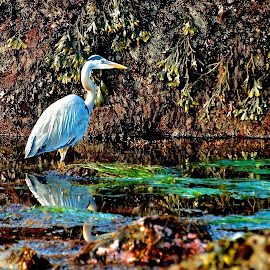 Tidal Pool Reflection by Vern Tunnell - Animals Birds
