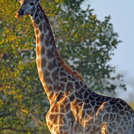 Giraffe Suckling by Anthony Goldman - Animals Other Mammals ( wild, mother, mammal.giraffe, baby, lomdolozi, suckling )