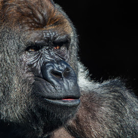 Silverback gorilla by Sebastièn Petri - Animals Other Mammals ( mountain, portret, silverback, gorilla, close-up )