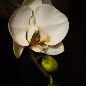 The Orchid by Al Duke - Flowers Single Flower (  )