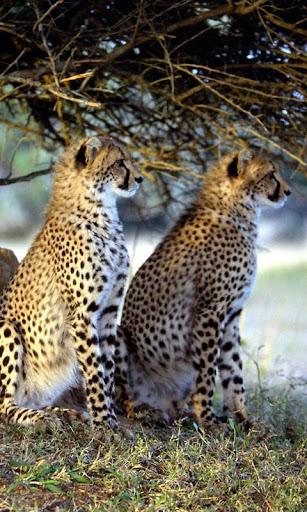 玩解謎App|Leopard Jigsaw免費|APP試玩