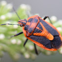 Horehound bug