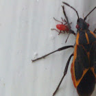 Eastern Box Elder Bug