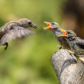 Mother bird fly to feed her sons by MazLoy Husada - Animals Birds