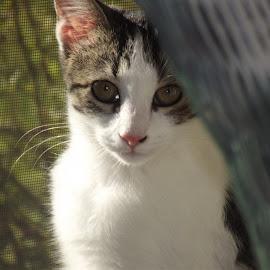 by Brenda Town-Meyerhoff - Animals - Cats Portraits