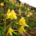 Yellow Glacier Lilly